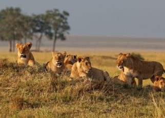 6 Lion's Characteristics in Leadership